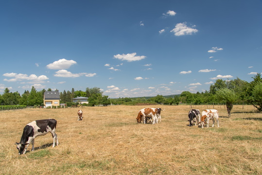 Cows on dry grass