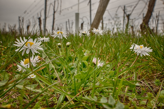 Spring in the vineyards