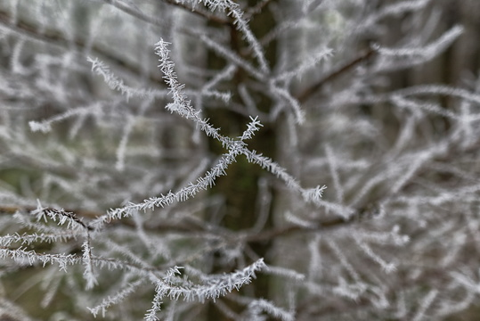 Frost on the branch
