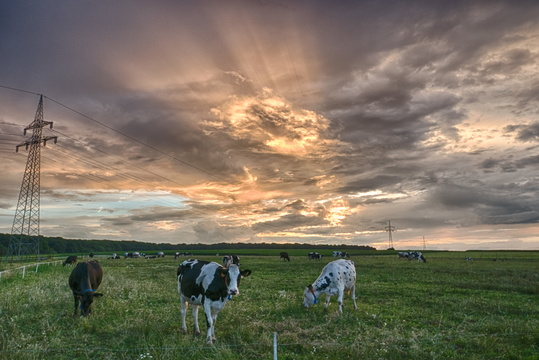 Cows before sunset