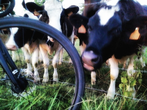 Cows love bicycles