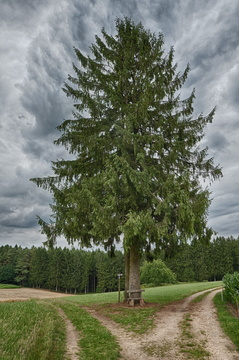 Spruce tree on the track