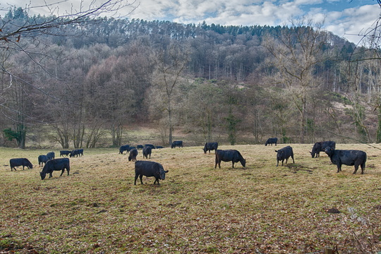Cows in Mullerthal