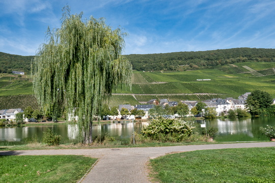 Vineyards, tree and Moselle river