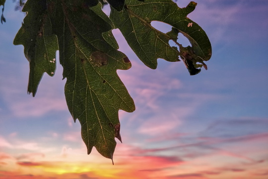 Oak leaves at dusk