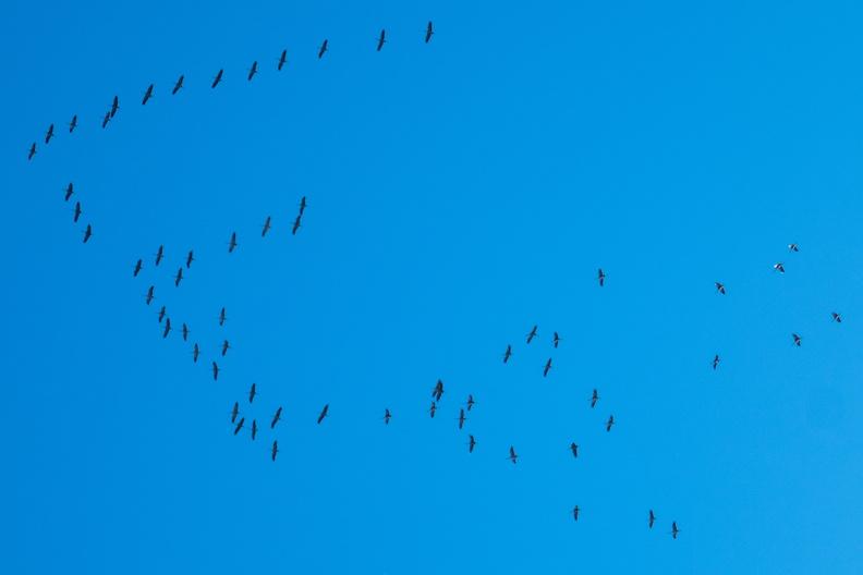 Cranes migration