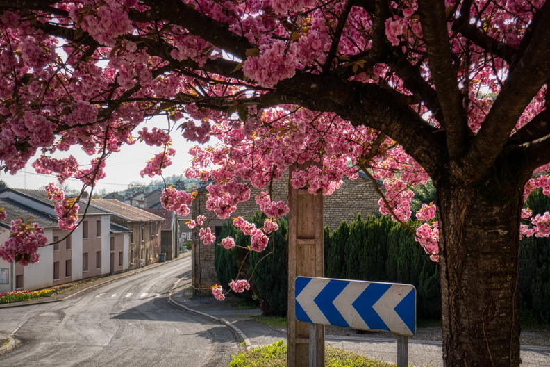 Blooming tree in Viviers-sur-Chiers