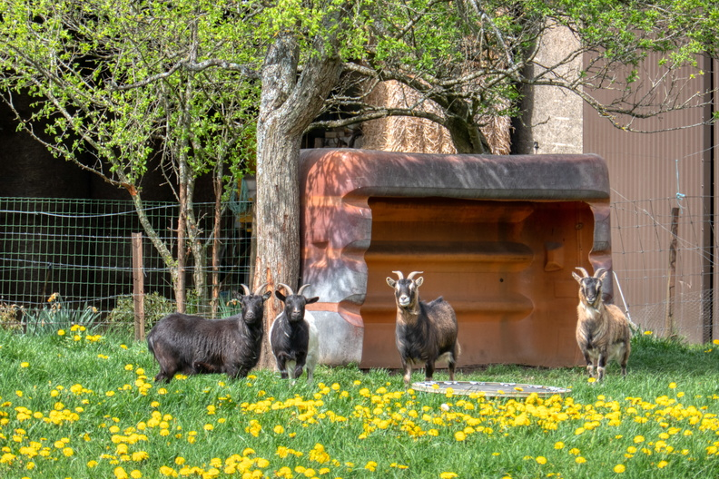 Goats in Kehlen