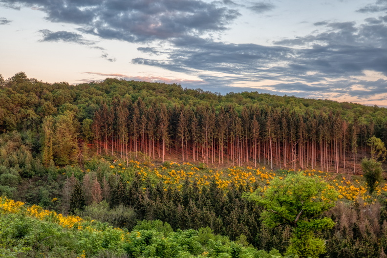Ardennes forest during golden hour