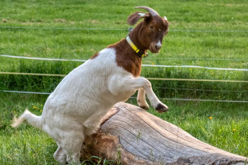 Jumpin' goat