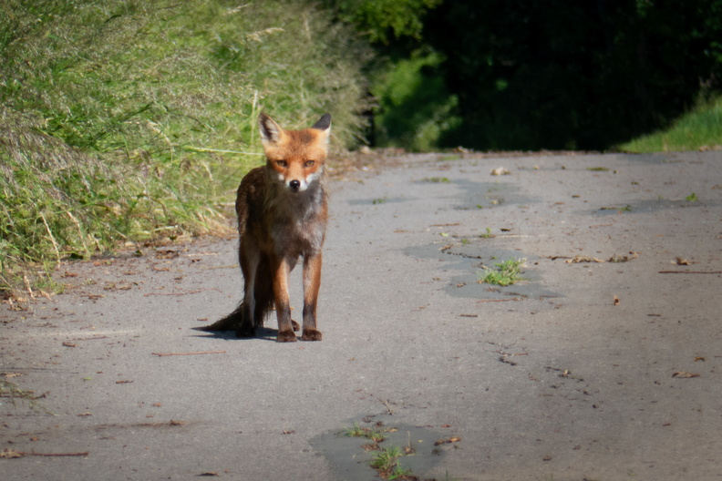 Accidental meeting with a fox