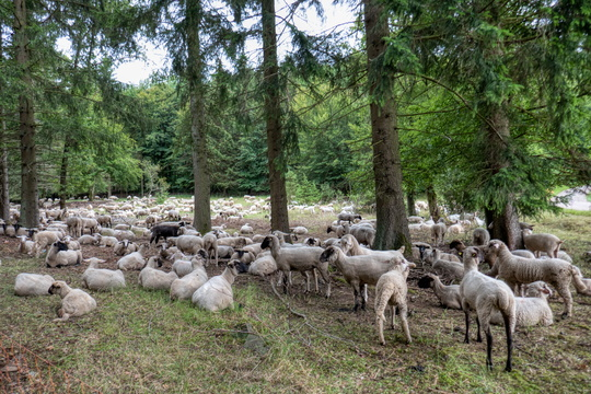 High density of sheep
