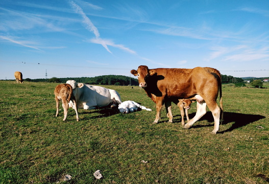 Chilling cows