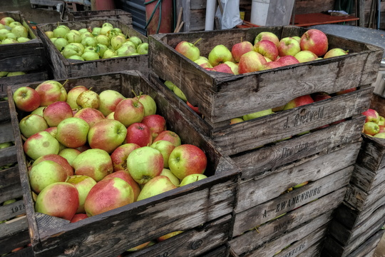 Apples at Steinsel orchard