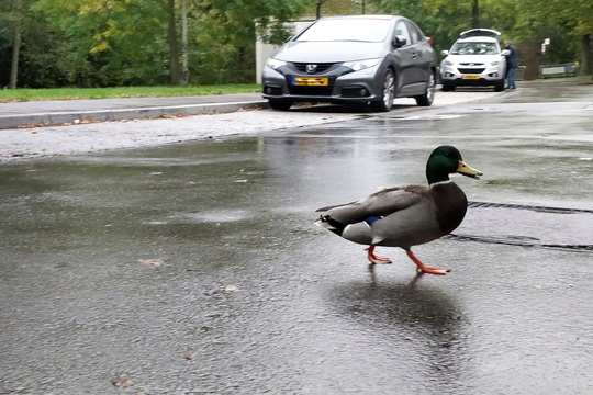Duck crossing the street