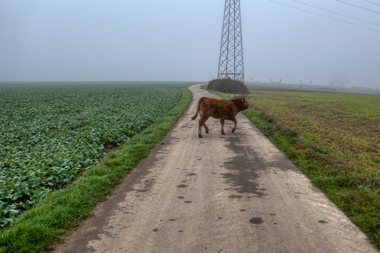 Cow on the road to work