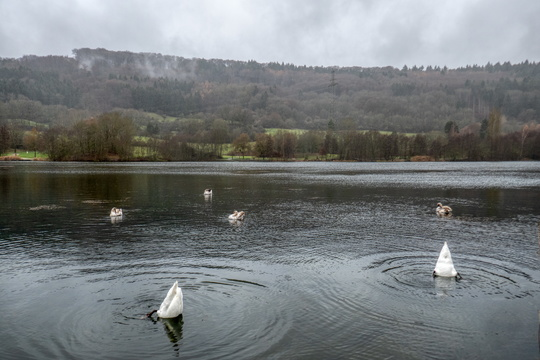 There were more swans than humans at Echternach lake on that day