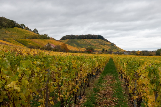 Moselle vineyards near Schengen