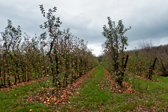 Orchard near Steinsel