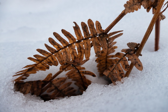 """Red"" fern in the snow"