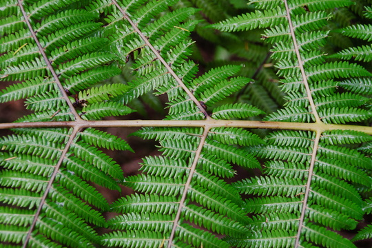 Fern in Waitangi National Reserve